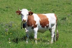 Vache à corne