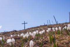 Une croix parmi les crocus